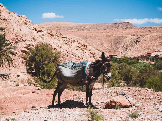 Marokański osiołek spotkany przy drodze