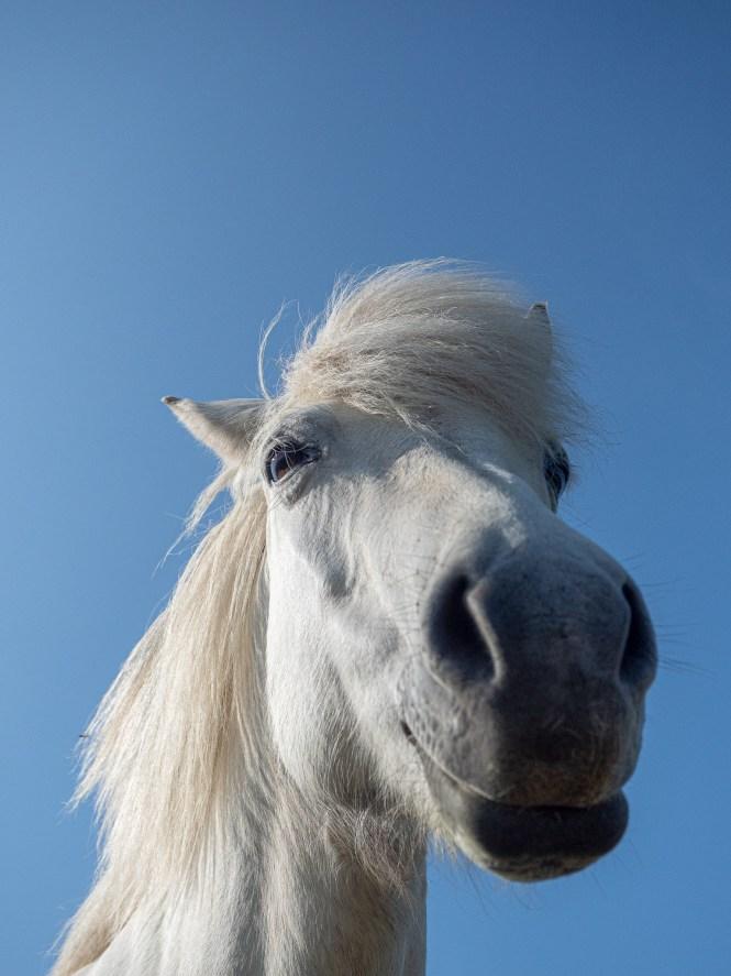 koń islanida