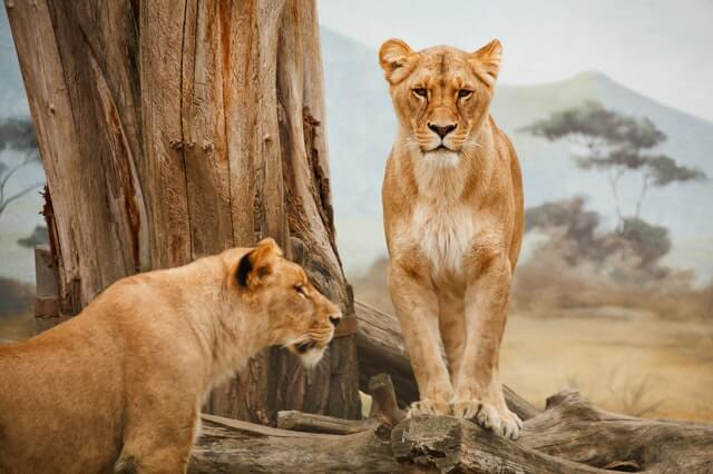 responsible travel is watching wild lions