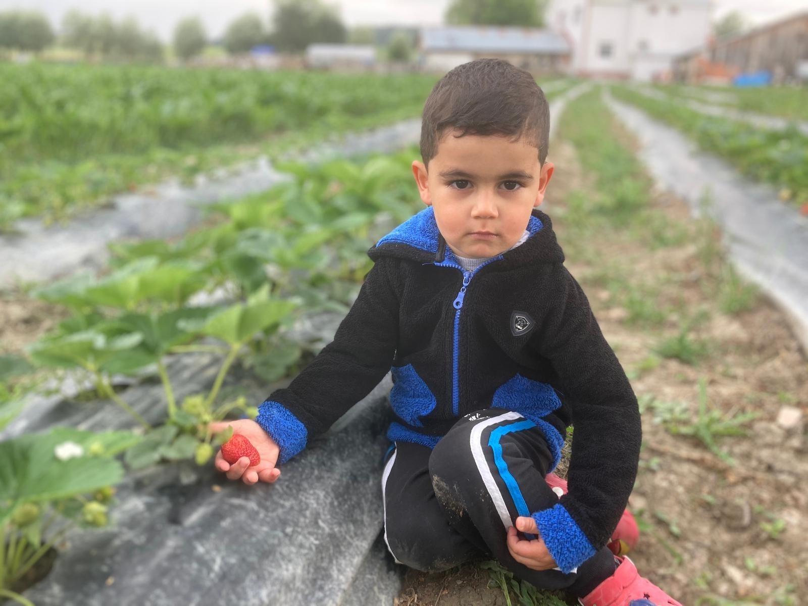 Kastamonu'da çilek hasadı başladı