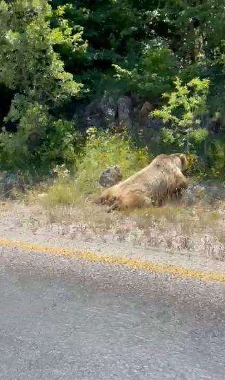 Boz ayıya araç çarptı
