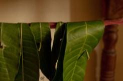 Mango Leaves