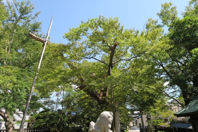 間明 御馬神社 ご神木の損壊1