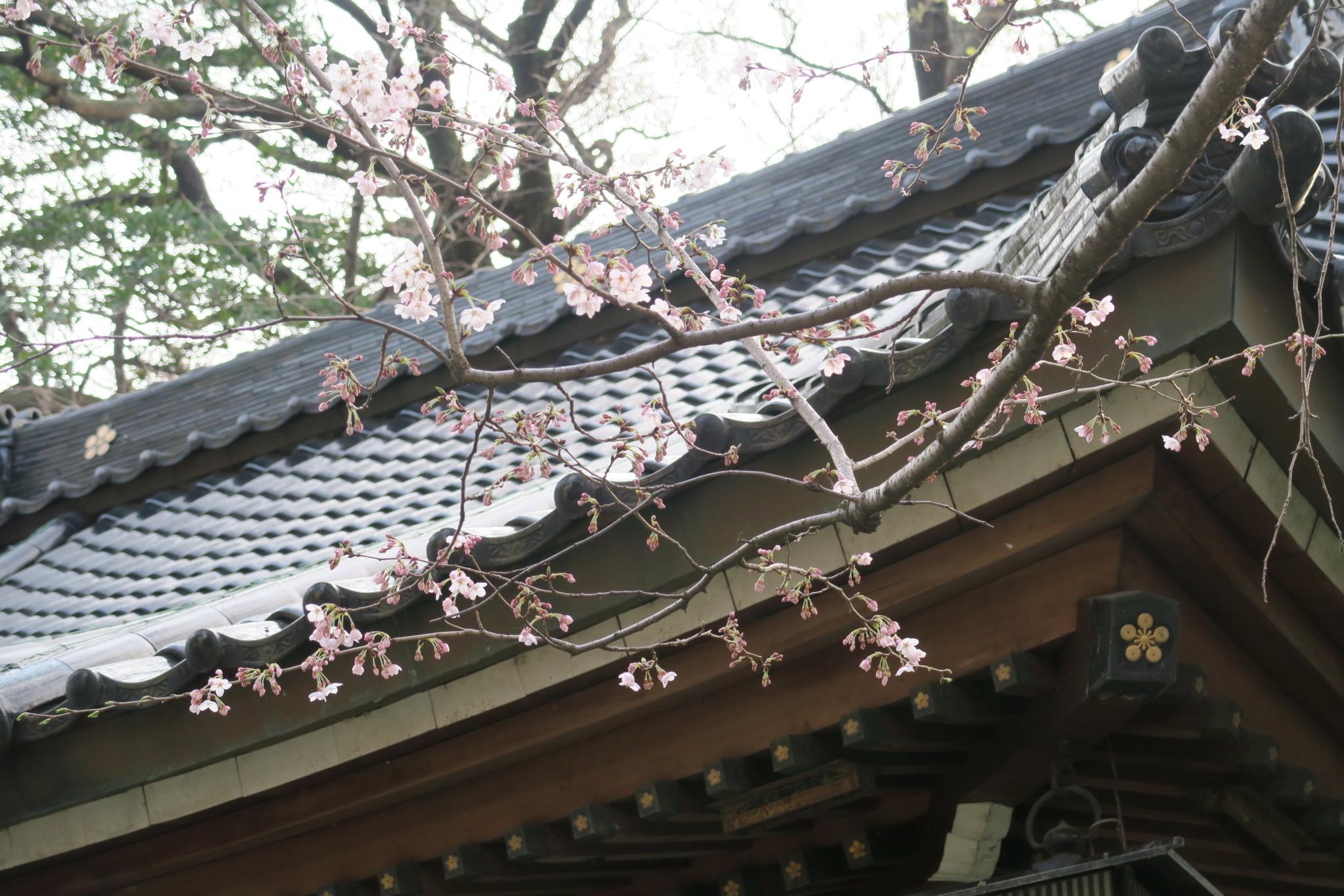 平成31年の桜と拝殿解懸魚
