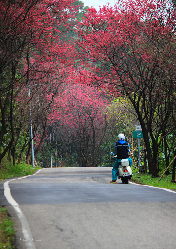 週末好去處 | 滬尾櫻花大道 三里櫻花路 漫天粉紅雪