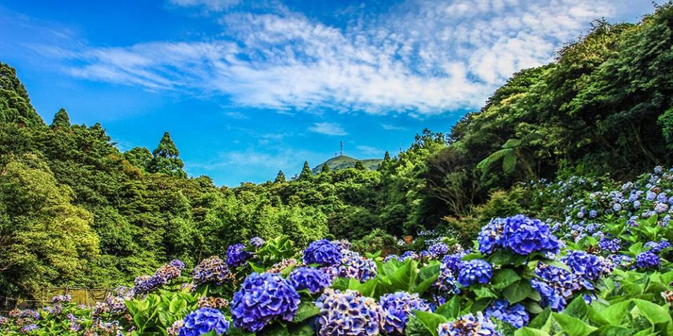 週末好去處    陽明山竹子湖繡球花 花都開好了 (新增交通管制圖)