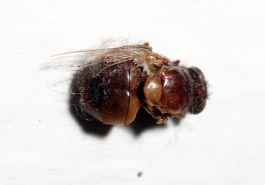 I liked the colours that this fly managed to retain (I have no idea how long any of these have been stuck there!)