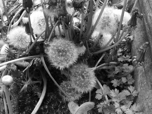 bw-dandelion-cluster