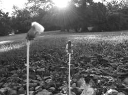 bw-dandelions-sun