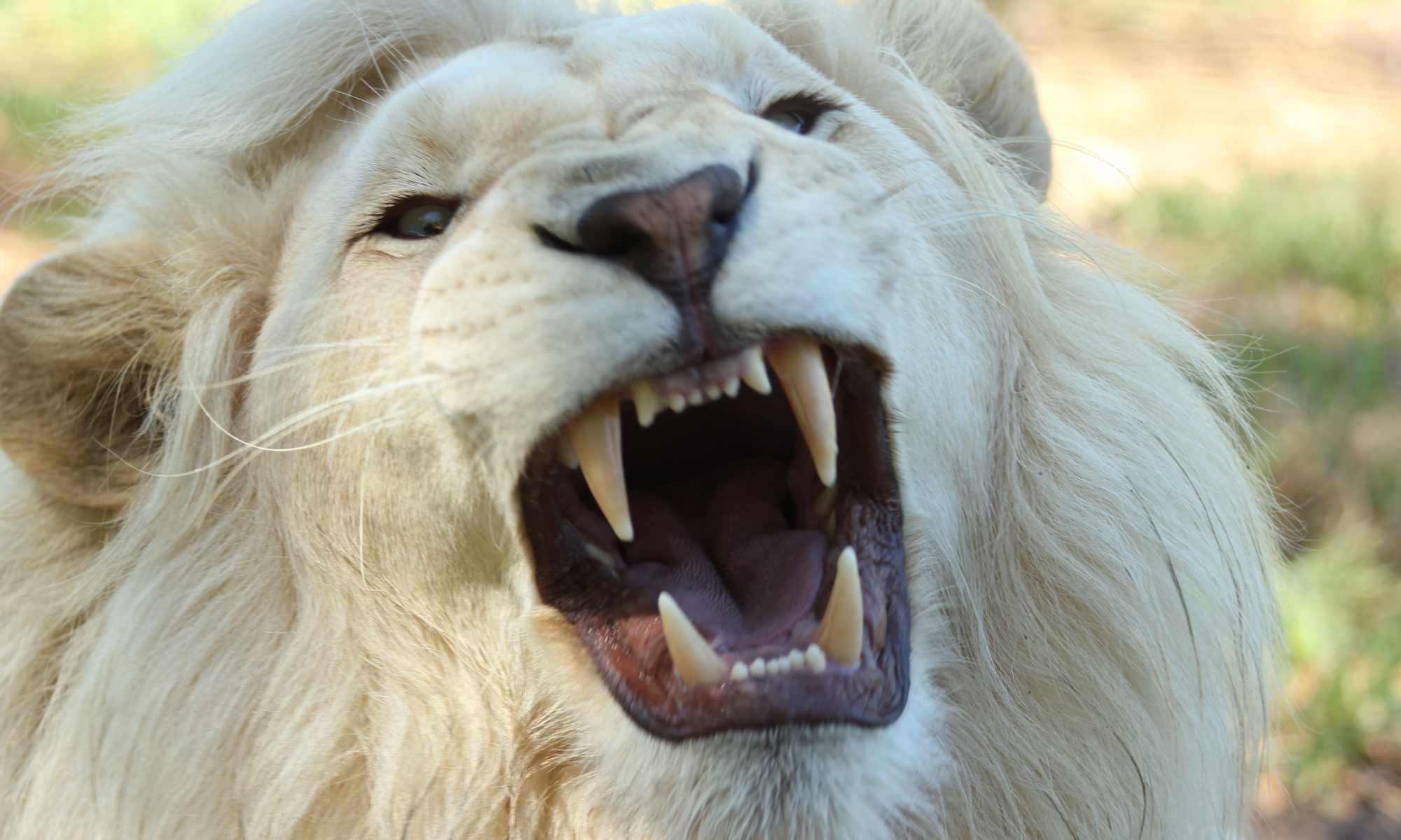 A white lion from South Africa growls menacingly