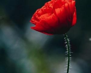 poppy world war i wwi