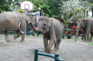 Captive Indian elephants