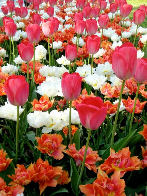 Tulip Festival in Morges