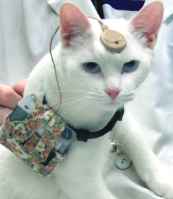 How cool is this! Implanted cat 5 months after surgery. The cat wears the device 8 hours a day, 5 days a week.   These cats are born deaf and offer an excellent model for studying congenital deafness. With the implant, cats will come when called and demonstrate behaviorally that they can hear.