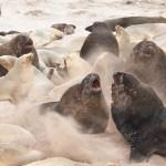 sea lions, kate mccombie, photographer, melbourne, sub-antarctic