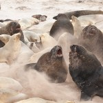 sea lions, kate mccombie, photographer, melbourne, sub-antarctic