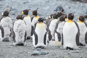 kate mccombie, photographer, melbourne, sub-antarctic, Macquarie Island, penguins