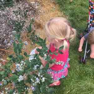 layla blueberry picking