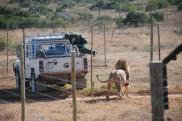 Feeding time with Brutus the lion born free sanctuary