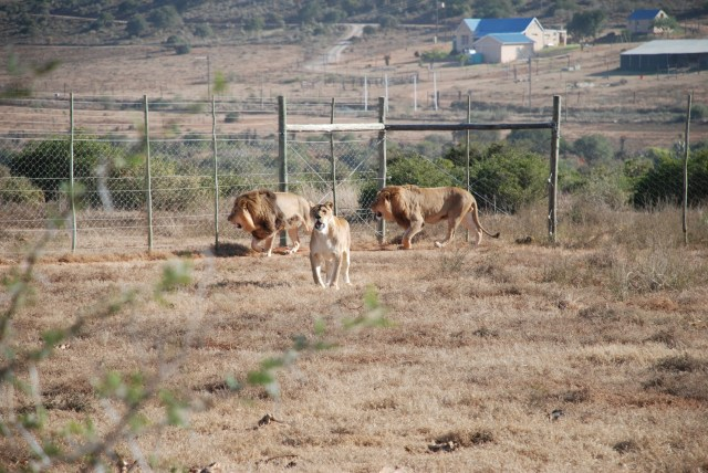 James, Jules and Jerry the lion born free sanctuary shamwari