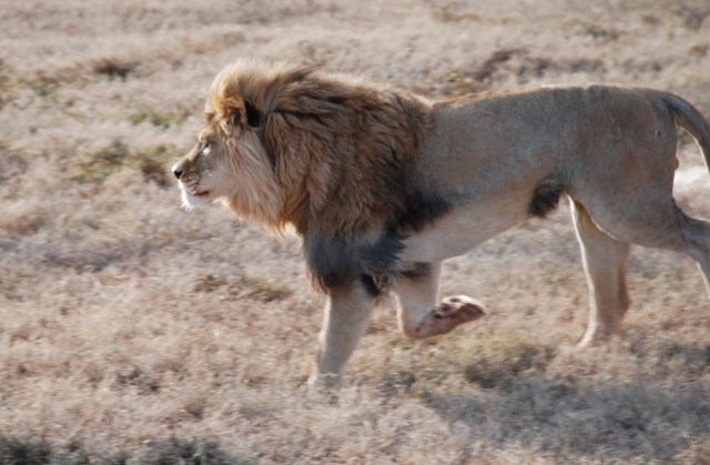 Brutus the lion born free sanctuary shamwari