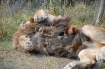 sinbad the lion at born free sanctuary