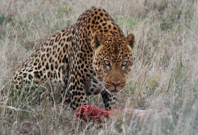 kuma the leopard born free sanctuary shamwari