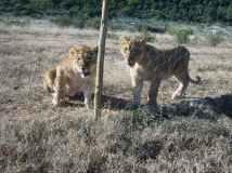 young lions born free sanctuary shamwari