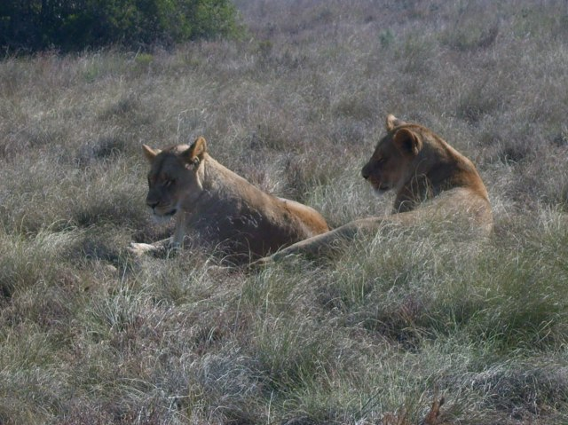 lionesses born free sanctuary shamwari