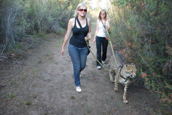 Cheetah walking at Tenikwa Sanctuary