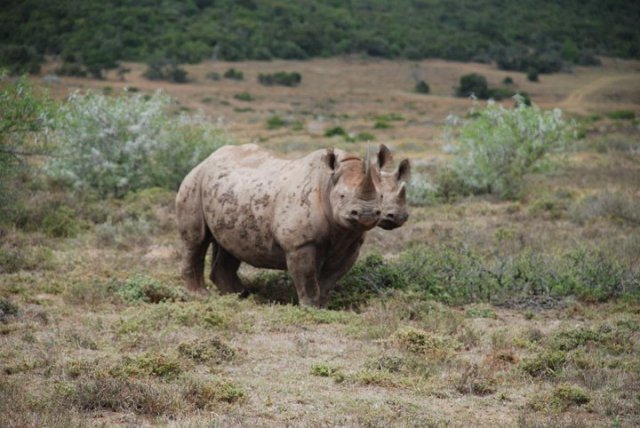 My own lucky encounter with 2 black rhino