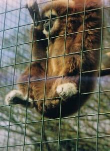 captive zoo gibbon