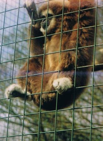 captive zoo gibbon
