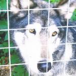 captive wolf behind fence