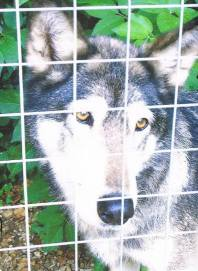 captive wolf behind fence