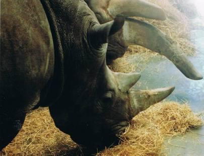 Rhinos feeding