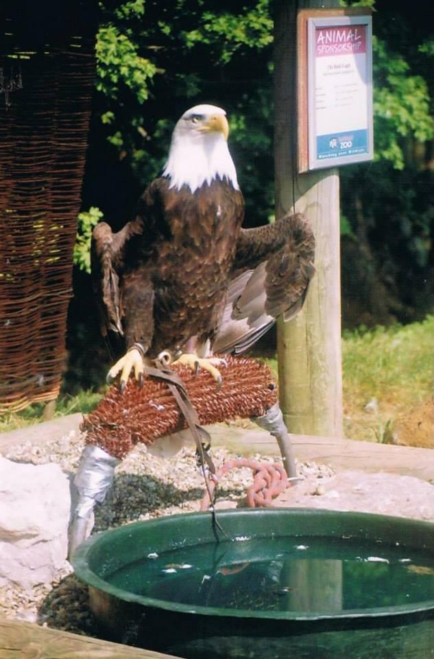 captive hawk tied up