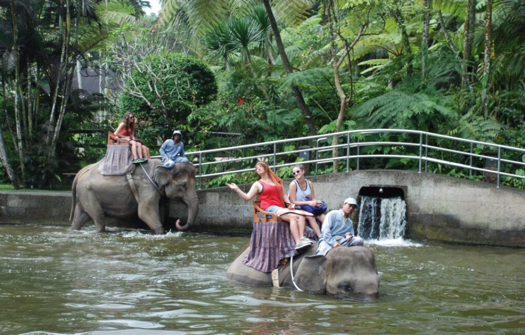 Captive elephants being ridden