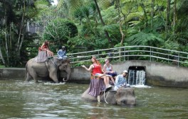 Captive elephants being ridden