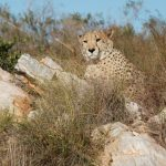 Cheetah photography by Kate on Conservation