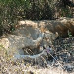 Lions by Kate on Conservation
