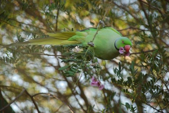 Ring-necked parakeet in Richmond Park