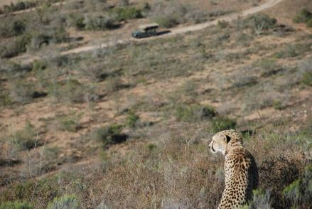 Cheetah by Kate on Conservation