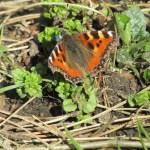 Butterfly Starning wildlife
