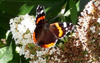 big butterfly count - red admiral butterfly