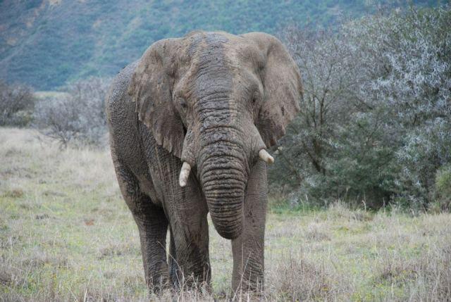 african elephant in Shamwari