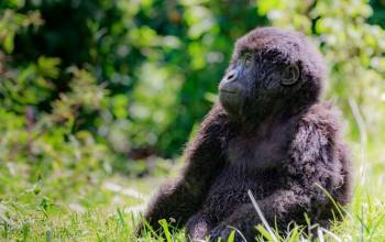 baby gorilla sitting on the grass