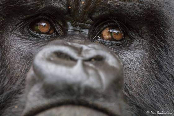 Gorilla eyes, Rwanda, photo by Dan Richardson