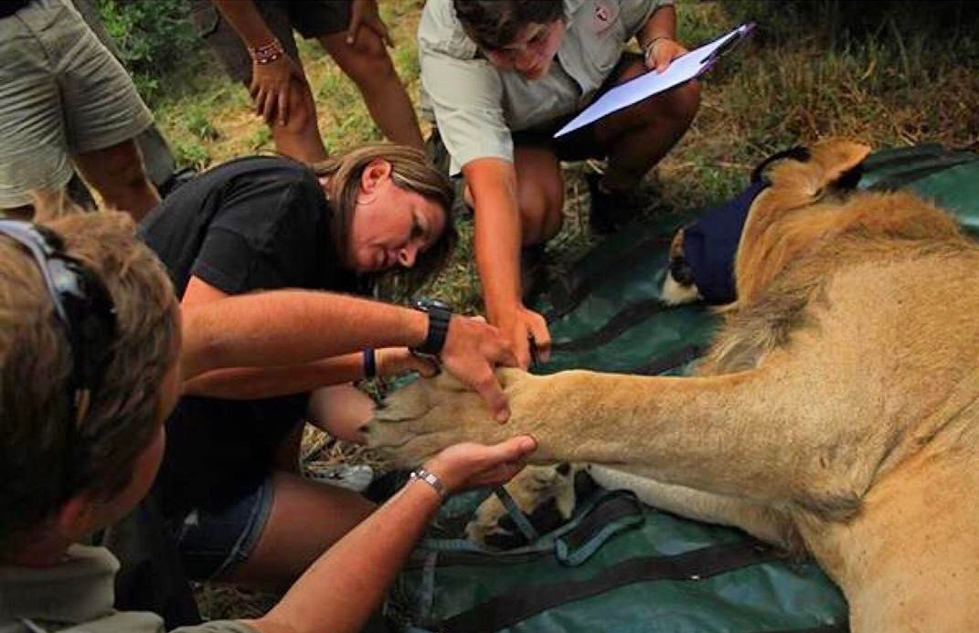 Lion Hero: Meet Drew Abrahamson on World Wildlife Day