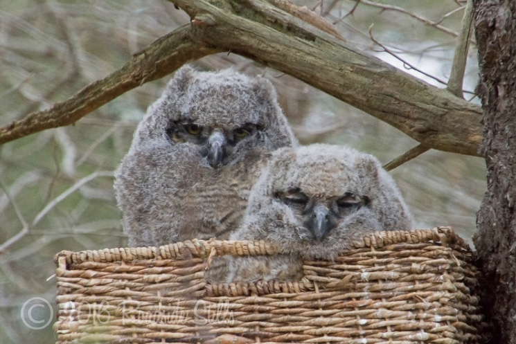 Great Horned Owlets Rescue: Where There's a Will, There's a Way!